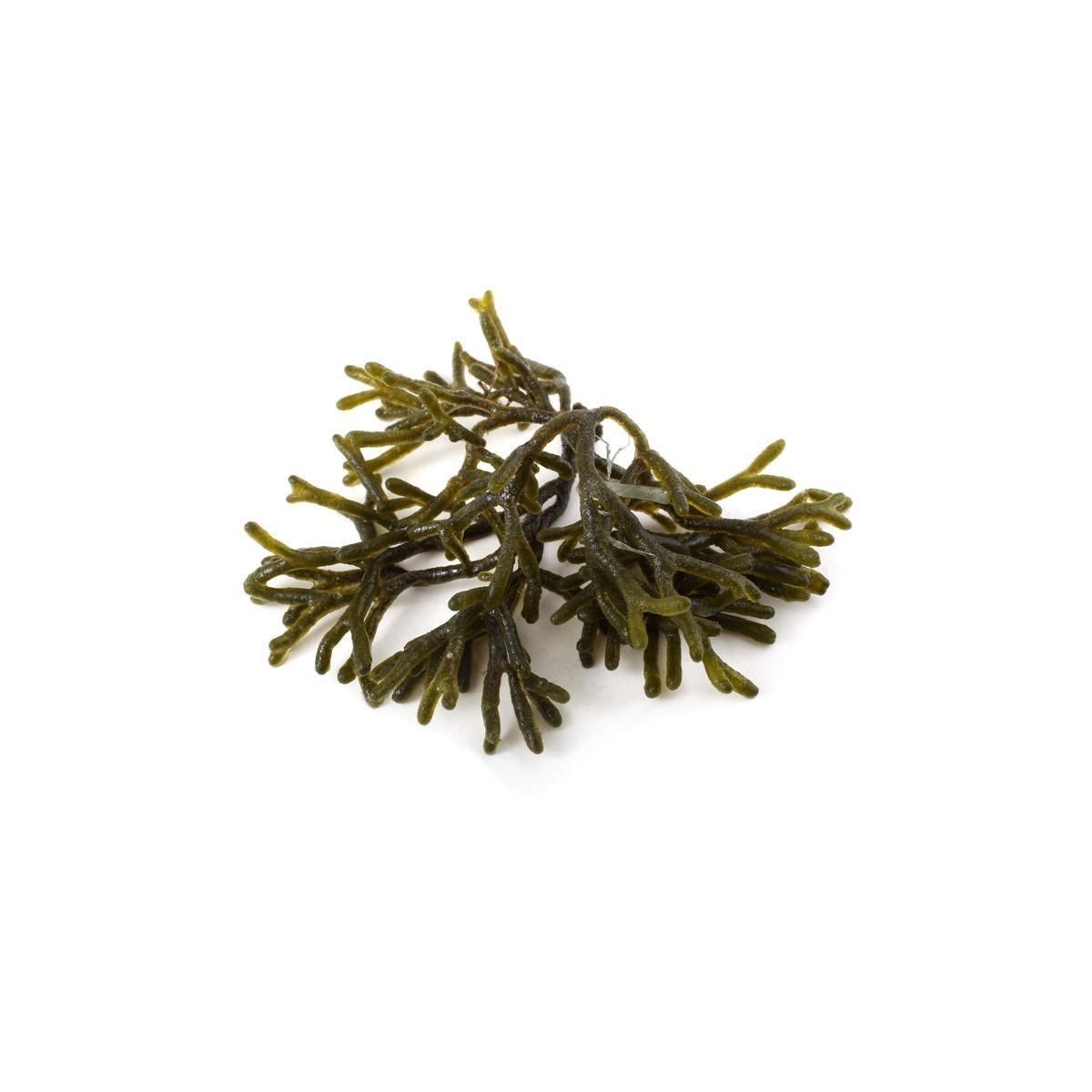 Alga Percebe (Codium) 200 gr.